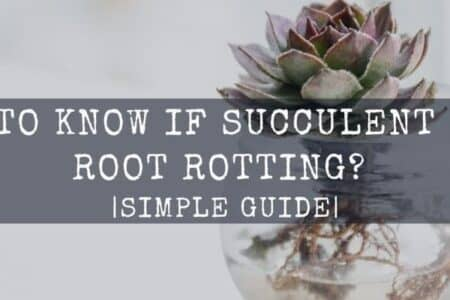 How Do I Know If My Succulent Roots are Rotting? Simple Guide