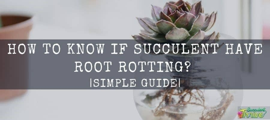 How do I know If My Succulent Roots are Rotting Simple Guide
