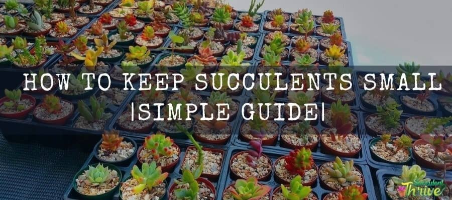 How to Keep Succulents Small and manageable Simple Guide