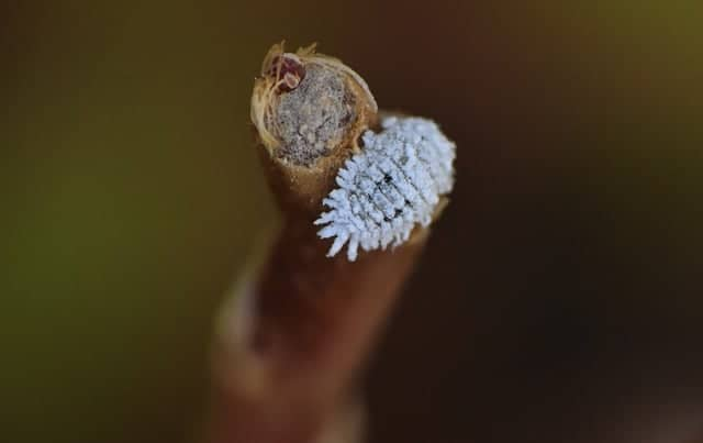 What are Mealybugs