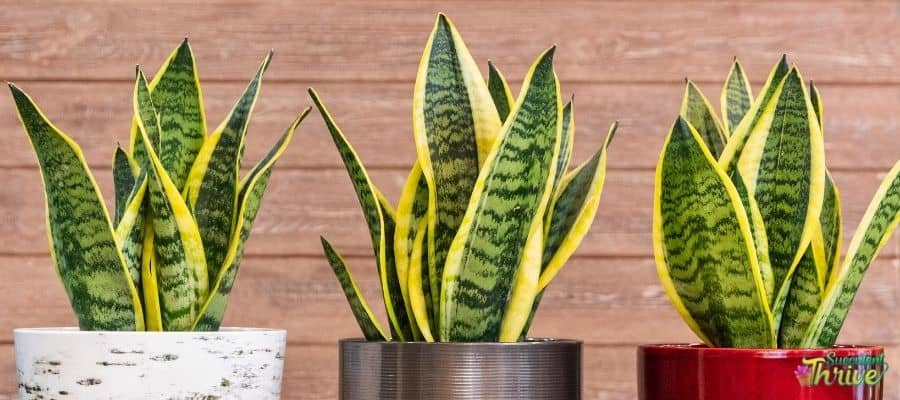 Easiest succulents to grow