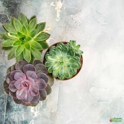 Succulent growth rate_