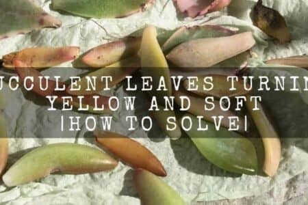 Succulent leaves turning yellow and soft | how to solve