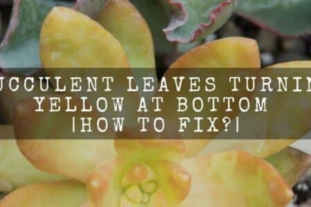 Succulent leaves turning yellow at bottom | How to fix?
