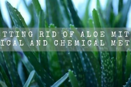 Getting rid of aloe mites | Physical and Chemical methods |