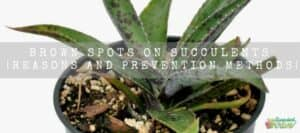 Brown Spots On Succulents Reasons And Prevention Methods