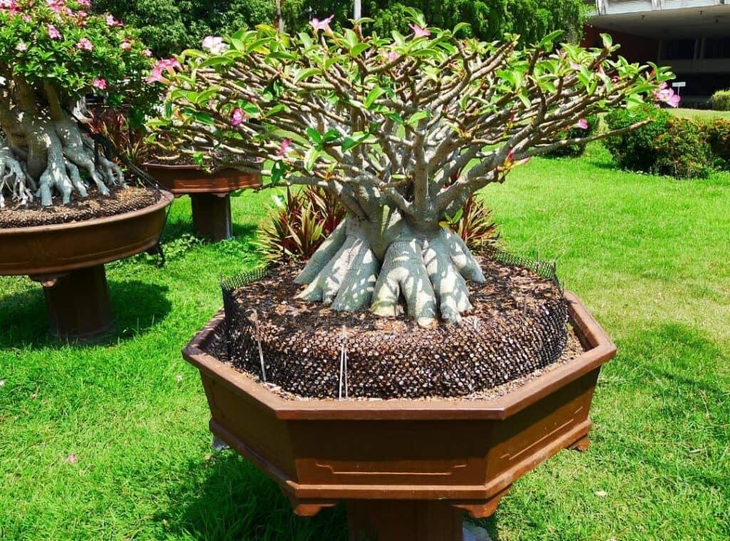 Adenium Arabicum plant