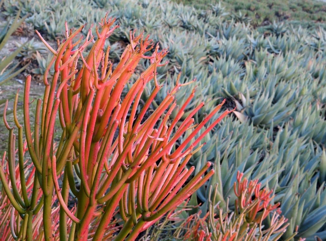 Fire Plant (Euphorbia Tirucalli ) Care