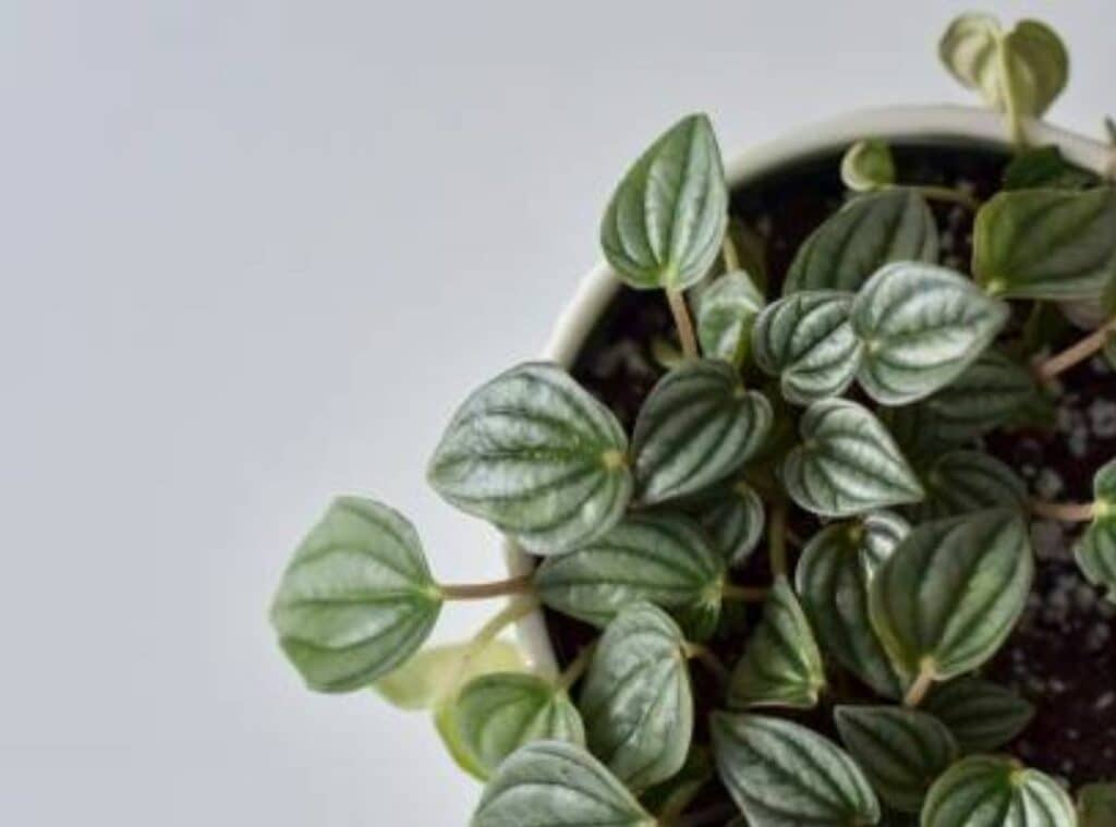 How Do You Treat Peperomia Frost