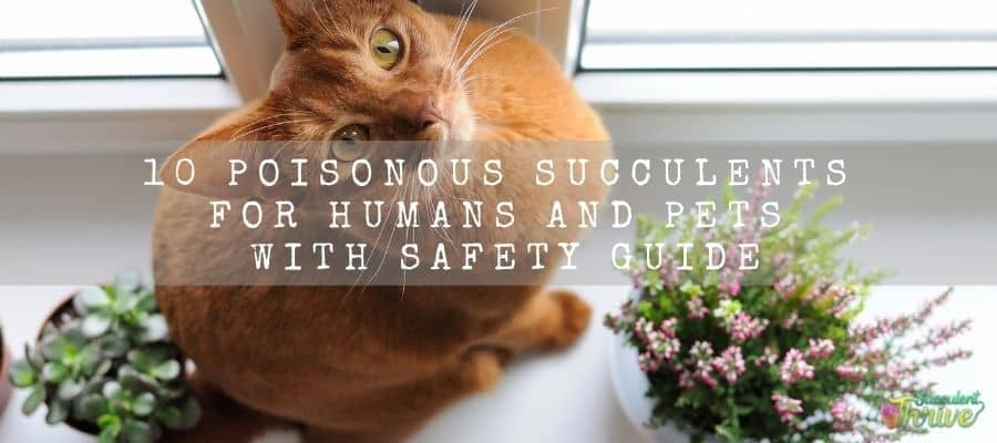 10 Poisonous Succulents For Humans And Pets With Safety Guide 1