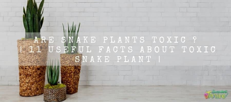 Are snake plants toxic 11 useful facts About Toxic Snake Plant