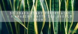 Do Snake Plant Purify Air 5 Amazing Facts You Should Know (1)