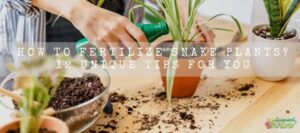 How To Fertilize Snake plants 12 Unique Tips For You