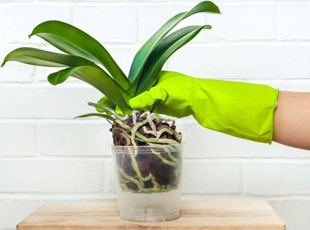 How To Spot Dead Orchid Roots At Once5 1