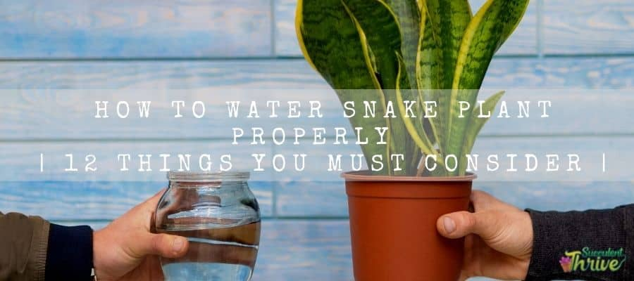 How to water Snake plant properly 12 things you must consider