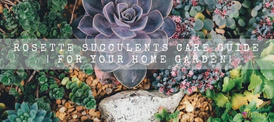 Rosette Succulents Care Guide For Your Home Garden