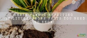 Snake plants repotting 17 Little-Known You Need to Know