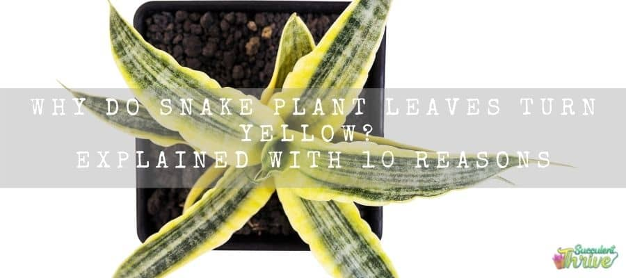 Snake Plant Leaves Turn Yellow