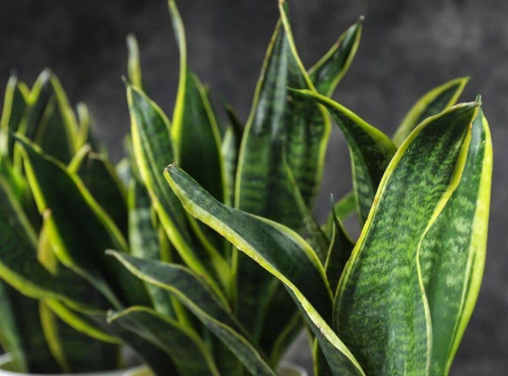 Snake Plant Leaves curling