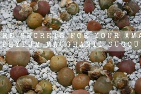 16 Care Secrets For Your Amazing Conophytum Maughanii Succulent