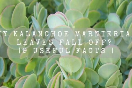 Why Kalanchoe marnieriana leaves fall off? | 9 Useful Facts |