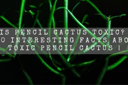 Is Pencil Cactus Toxic? | 10 Interesting Facts About Toxic Pencil Cactus |
