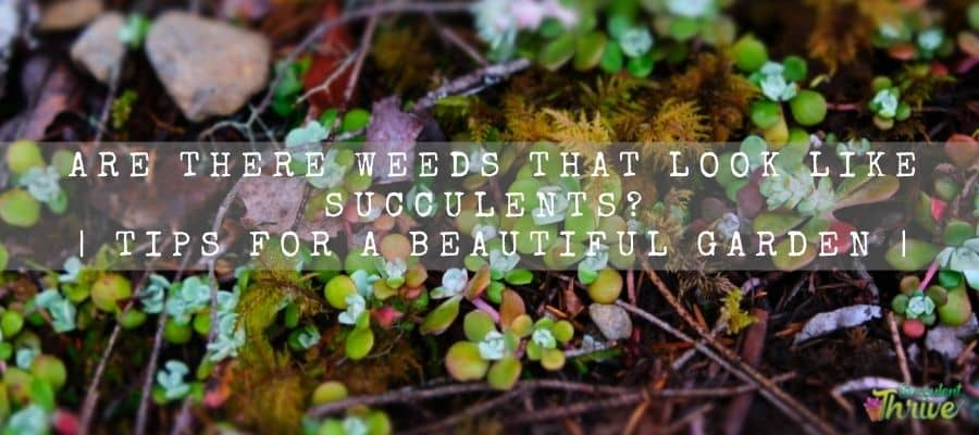 Weeds That Look Like Succulents