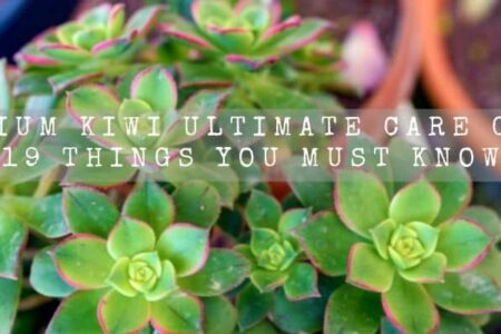 Aeonium Kiwi Ultimate Care Guide | 19 Things You Must Know |
