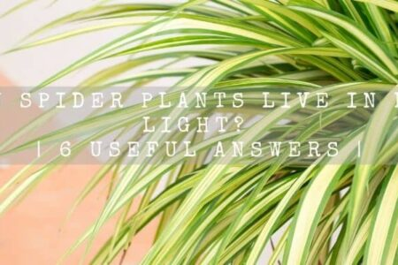 Can Spider plants live in low light? | 6 Useful Answers