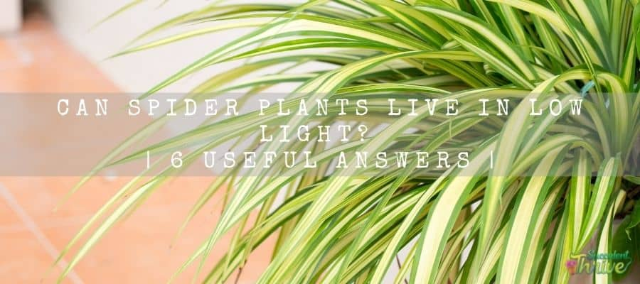 Spider plants live in low light