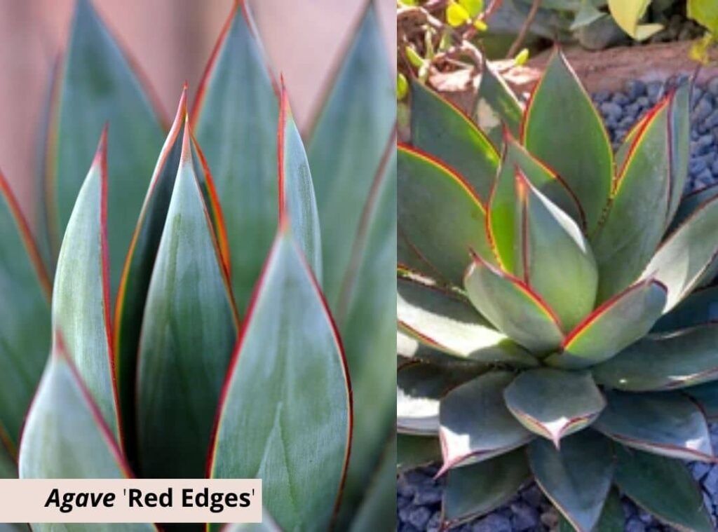 Agave Red Edges 1