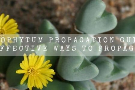 Conophytum Propagation Guide   4 Effective Ways To Propagate  