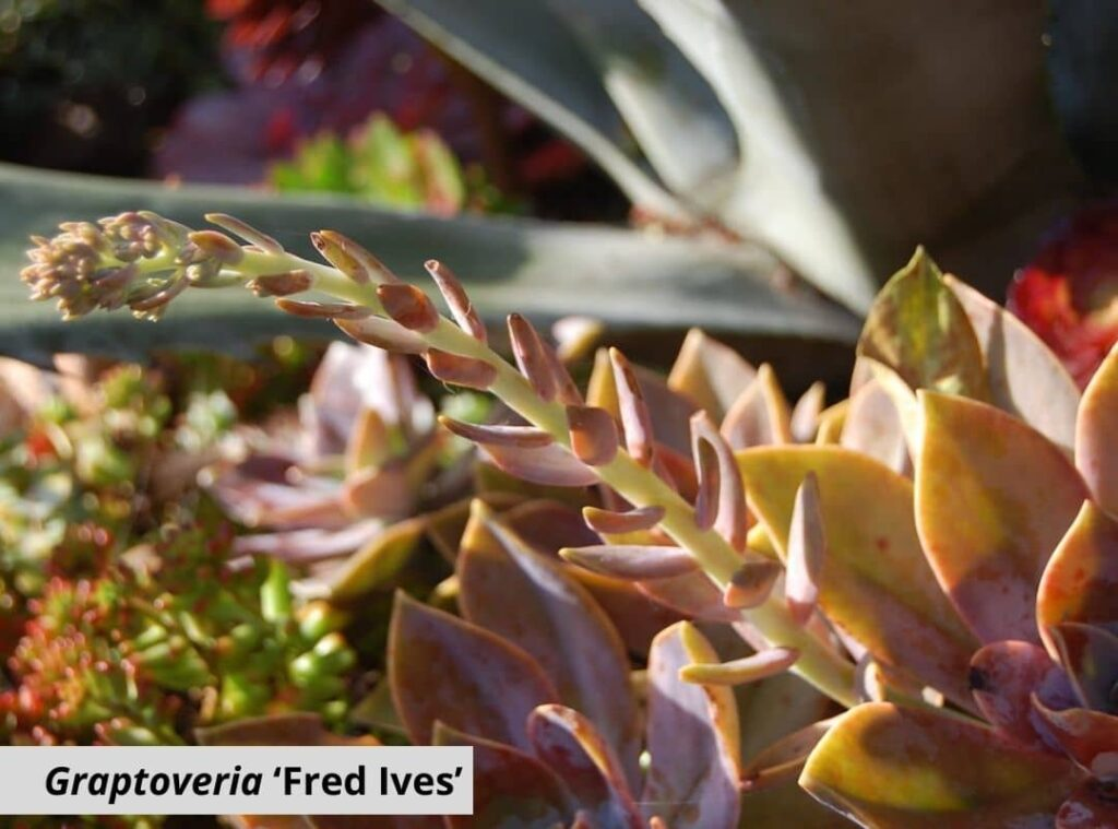 Graptoveria 'Fred Ives 1