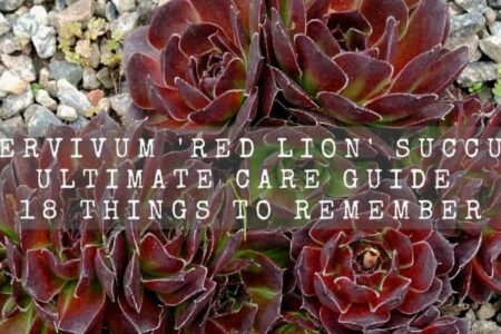 Sempervivum Red Lion Succulent Ultimate Care Guide | 18 Things To Remember |