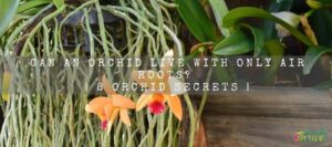 Can Ana Orchid Live With Only Air Roots