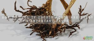 How To Tell If Orchid Roots Are Dead